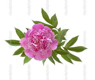 розовый пион на белом