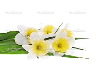 красивый цветы нарцисс