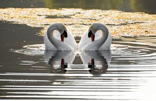 два лебедя у берега
