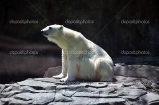 Полярный медведь на чёрном