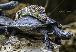 крокодил на черепахе