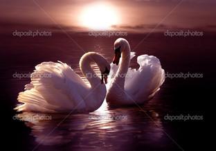 два лебедя на закате в воде
