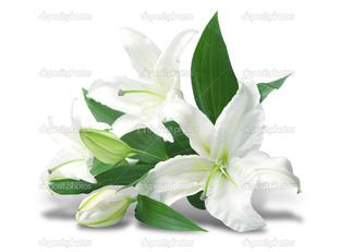 белая лилия вид