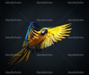 попугай на чёрном фоне