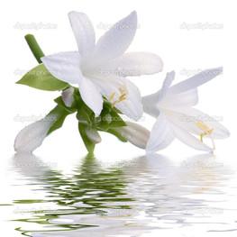 белая лилия отражение