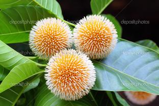 кодом цветок из Бангладеш