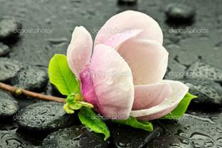 цветок магнолия на камнях