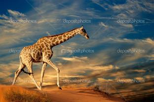 жираф песок дюны