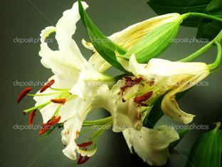 садовая лилия вид