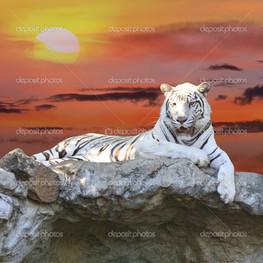 белый тигр на закате