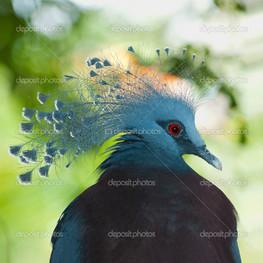 виктория коронован голубь