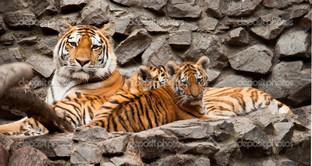 тигры на камнях