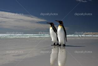 Королевские пингвины на льду