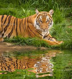 тигр на траве отражение