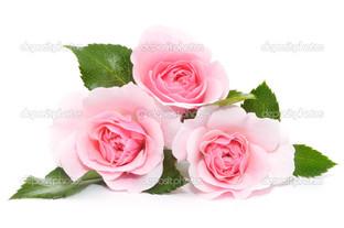 три розовые розы