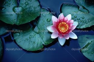 цветные водяные лилии