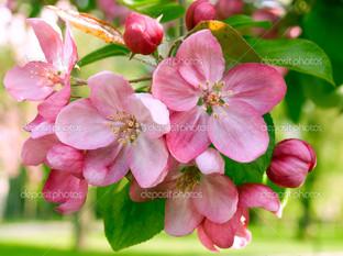 сакура ветка весна
