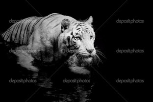 ч.б. белый тигр