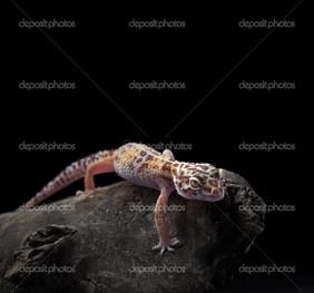 гекон