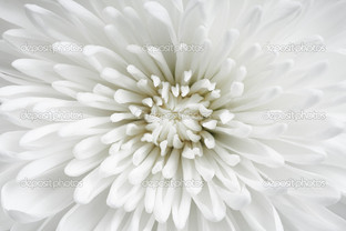 астра белая