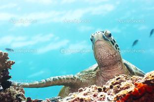 черепаха голубой фон