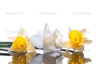 цветы нарциссы отражение