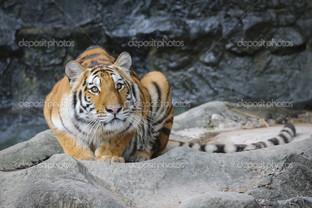 тигр сидит в пещере