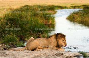 Лев у реки