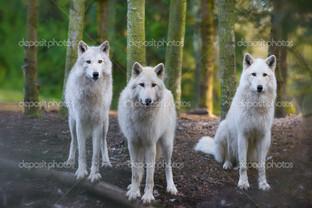 три белых волка