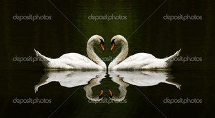 два белых лебедя на чёрном фоне