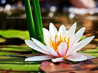 лилия водяная на листе