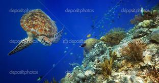 морская черепаха, коралловый риф