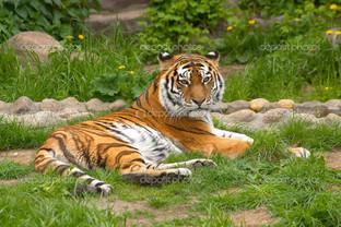 тигр на лежбище