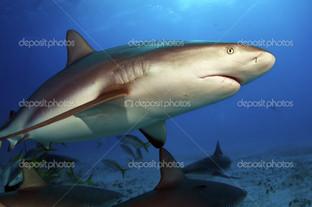 Карибские Рифы акулы