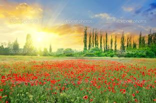 красивое маковое поле