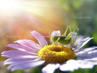 кузнечик на цветке