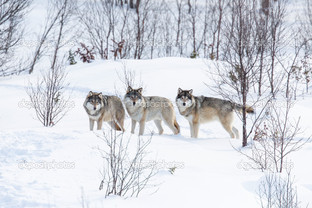 три волка на снегу