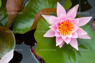розовая лилия на листе