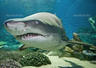 зубы акула в аквариуме