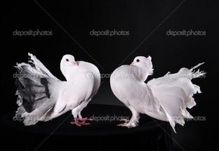 два голубя на чёрном