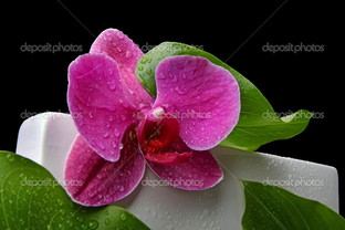 орхидея цвета фуксии