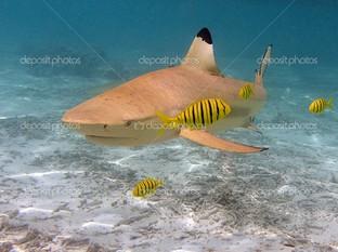 желтая акула