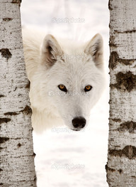 белый волк берёзы