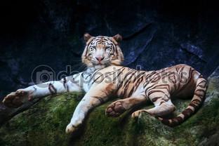 тигр на камне зелёном
