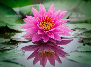 отражение розового лотаса