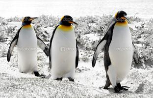 три пингвина на белом