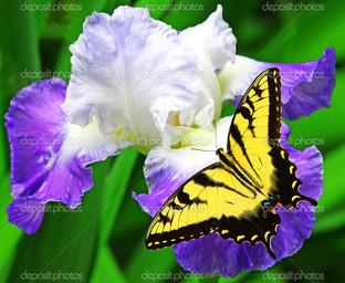 ирис и бабочка