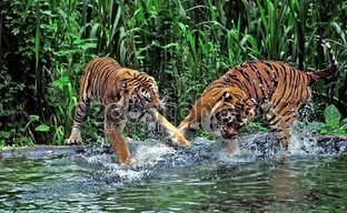 два дерущихся тигра