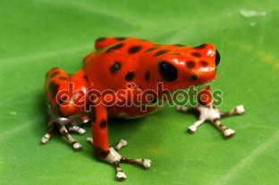 красная ядовитая лягушка
