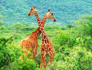 два жирафа панорама